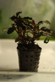 Bucephalandra Theia Red